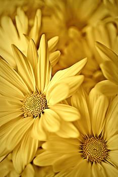 onyonet  photo studios - Yellow Daisies