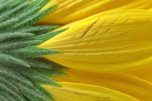 Yellow Daisy Macro by Nicolas Raymond