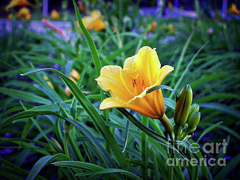Yellow Daylily At Twilight by Jenness Asby
