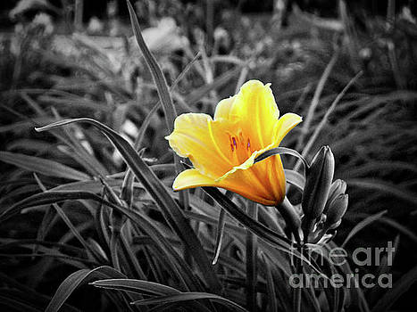 Yellow Daylily At Twilight Partially Desaturated by Jenness Asby