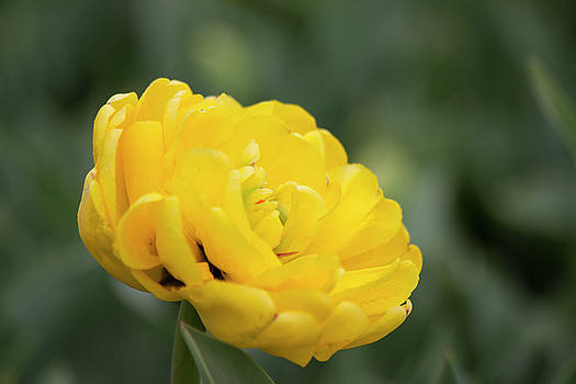 Yellow Double Tulip by Mark Michel