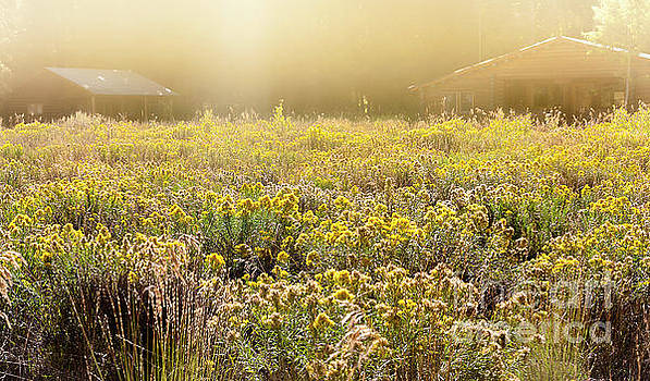 Yellow Field by Thomas Levine