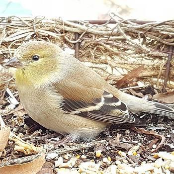 Yellow Finch By Tammy Finnegan #finch by Tammy Finnegan