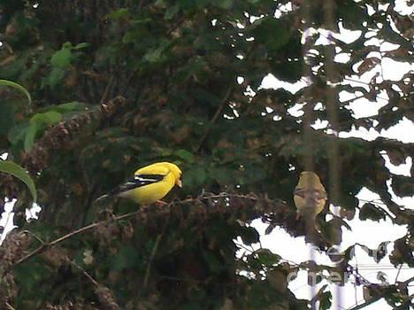 Yellow Finch Pair by Iris Newman