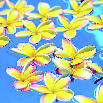 Yellow Floating Plumeria by Angelina Hills