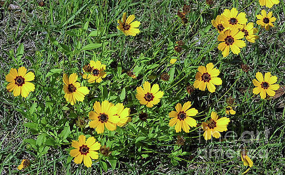 Yellow Florida Wildflowers by D Hackett
