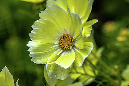 Yellow flower #h6 by Leif Sohlman