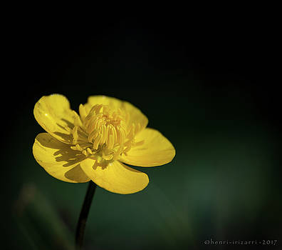 Yellow Flower by Henri Irizarri