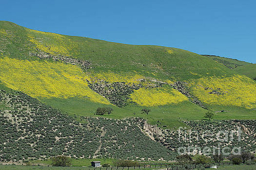 Yellow Hills on Carmel Road by Loriannah Hespe
