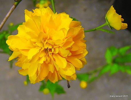Yellow Flower Power by Mary Siniard