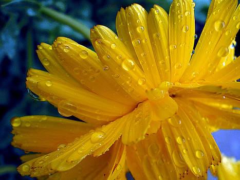 Yellow Flower with Raindrops by Kim Blumenstein