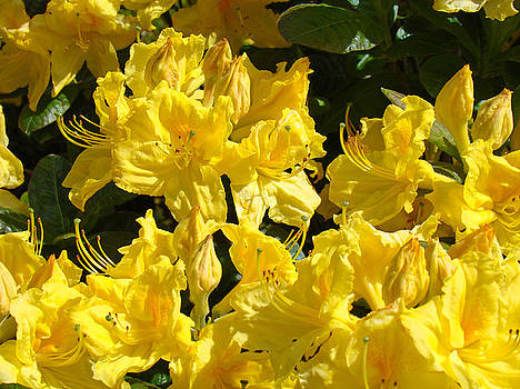 Baslee Troutman - Yellow Flowers art prints Bright Colorful Rhodies Baslee Troutman