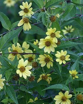 Yellow Flowers by Carla Neufeld