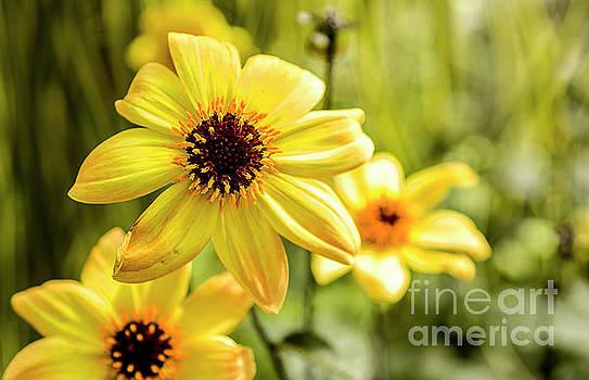 Yellow Flowers by Reynaldo Brigantty