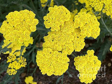 Yellow flowers by Wonju Hulse