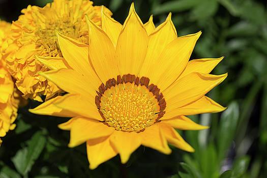 Yellow Gazinia by Mark Michel