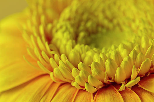 Yellow Gerbera Macro  by Sandra Foster