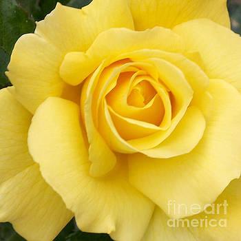 Yellow Gold by Sandy Molinaro