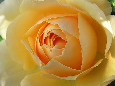 Yellow Graham Thomas rose by Jocelyn Friis