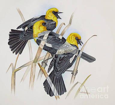 Yellow-headed Blackbird by Scott Rashid
