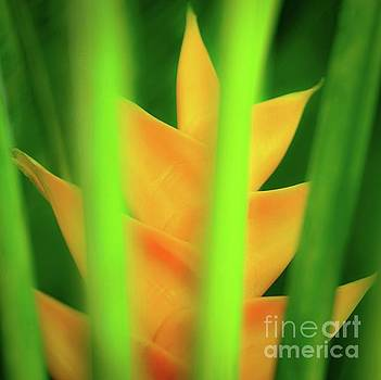 Yellow Heliconia - Tropical Hawaii - 957 by D Davila
