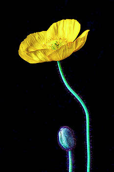 Yellow Iceland Poppy And Bud by Garry Gay