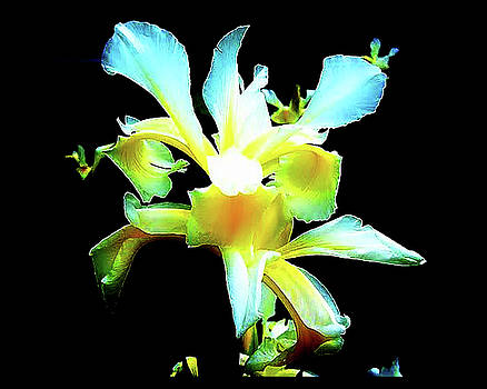 Yellow Iris Blossom by Linda Deal