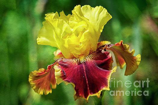 Yellow Iris by Craig Leaper