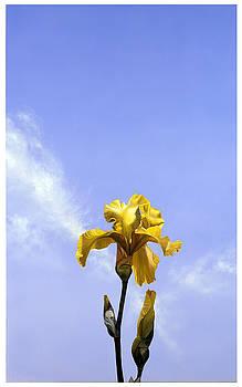 Yellow Iris by Matthew Bates