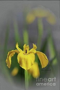 Yellow Japanese Iris by Yumi Johnson