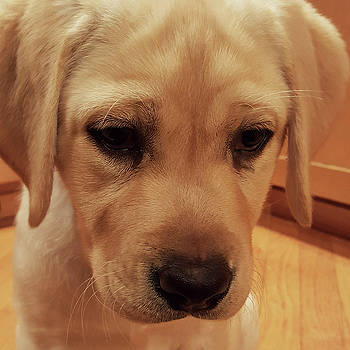 Yellow Labrador Retriever Cute Puppy Face by Crista Forest