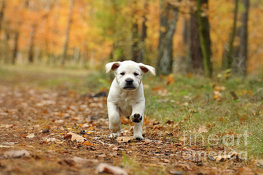 Yellow Labrador retriever puppy in autumn scenery by Waldek Dabrowski