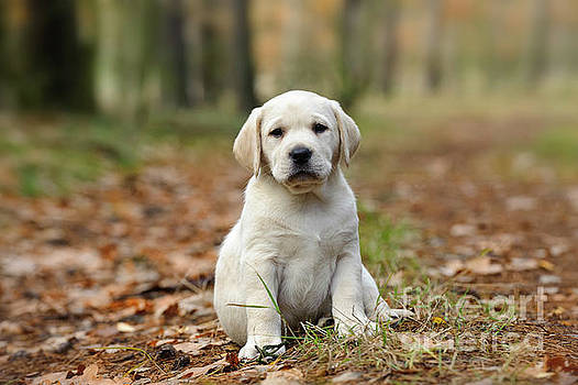 Waldek Dabrowski - Yellow Labrador retriever puppy