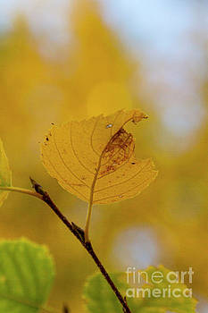 Yellow Leaf by Steve Triplett