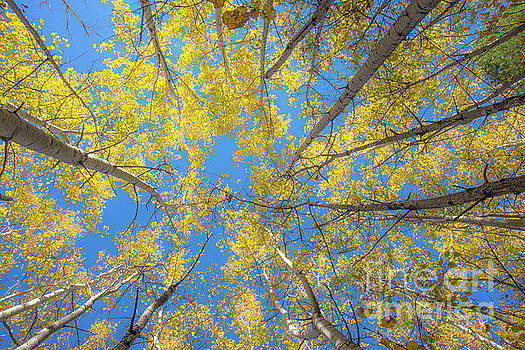 Yellow Leaves by Alana Ranney