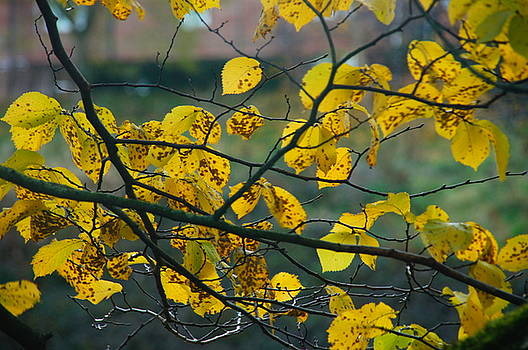 Yellow Leaves by Nik Watt