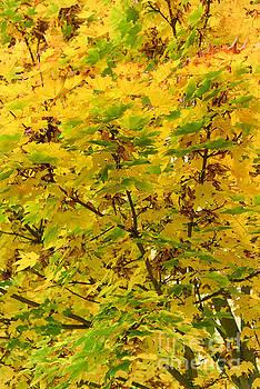 Svetlana Sewell - Yellow Leaves