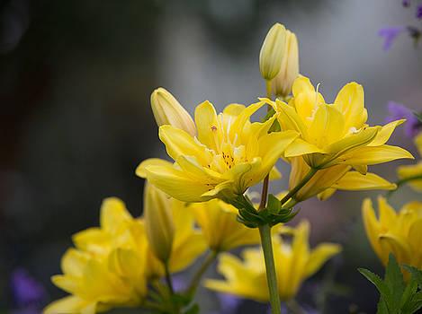 Dee Carpenter - Yellow Lillies