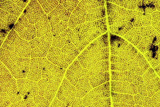 Yellow Maple Leaf Close-up by Lonnie Paulson