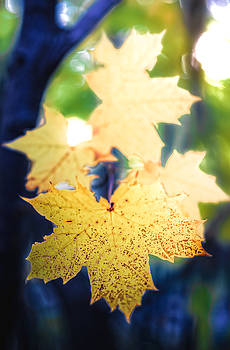Yellow Maple Leaf by Gord Follett