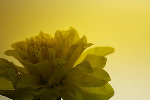 Yellow Mum by Janell Ingersoll