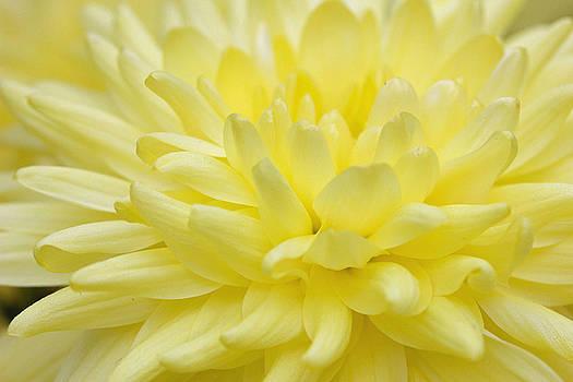 Yellow Mum by Jim Gillen