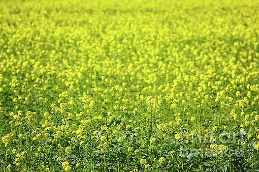 Yellow Mustard Seed Field by Jan Brons