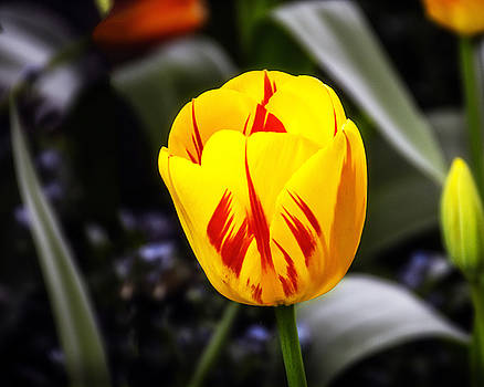 Yellow-N-Red Tulip by William Havle