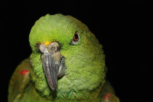 Alexander Butler - Yellow-Naped Amazon Parrot