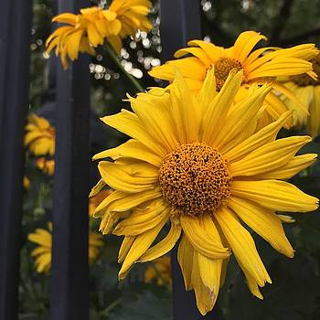 Yellow. Nice to meet you.  by Alyson Innes