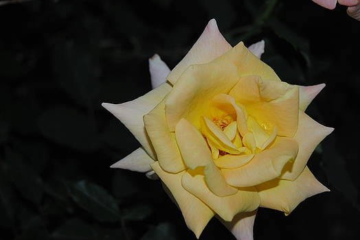 Yellow Night Rose by Christopher Rohleder