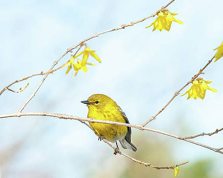 Yellow on Yellow Pine Warbler by Lara Ellis