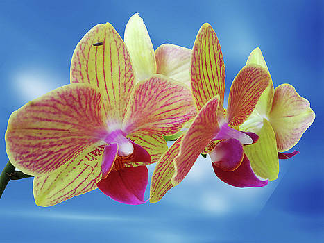 Yellow Orchid Flower by Ridwan Photography