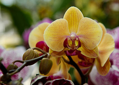 yellow Orchid by Jorge Mejias